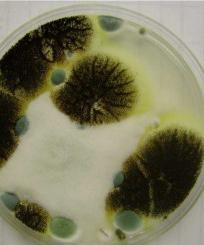 Stachybotrys Black Mold And Green In Color Many Cases You Won T Even See It As Grows Between The Walls Hidden Places